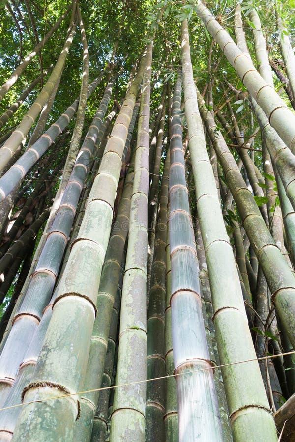 Hohe Bambusstöcke, Mae Hong Son, Thailand lizenzfreie stockfotos