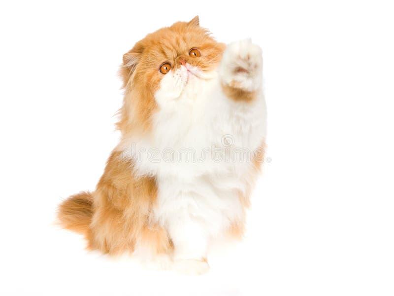 Hohe fünf durch rote persische Katze lizenzfreie stockfotografie