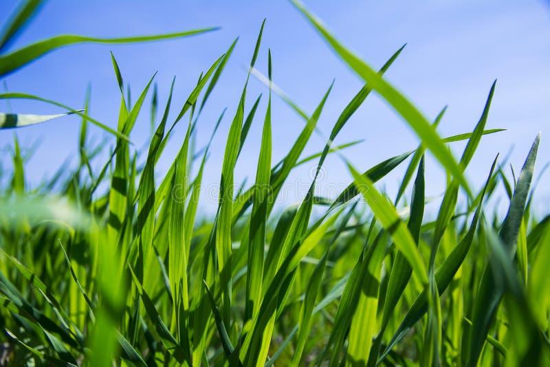 Hohe Gefangennahme des Abschlusses des grünen Grases lizenzfreie stockfotografie