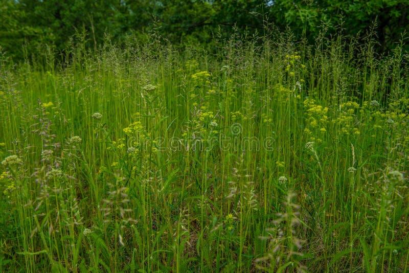 Hohe Gräser und Wildflowers, die am Grasland wachsen stockfotos