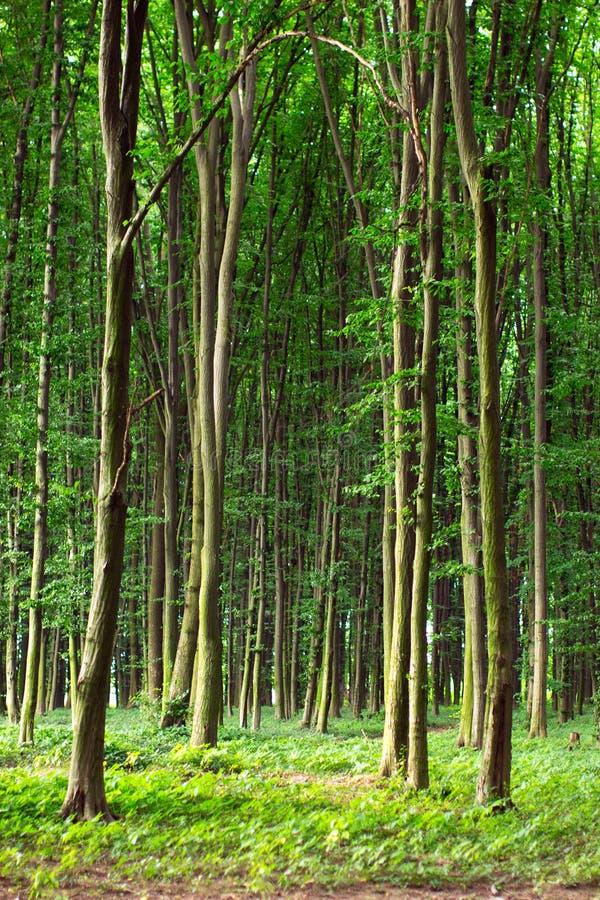 Hohe grüne Bäume der Buche im Sommerwald stockbilder