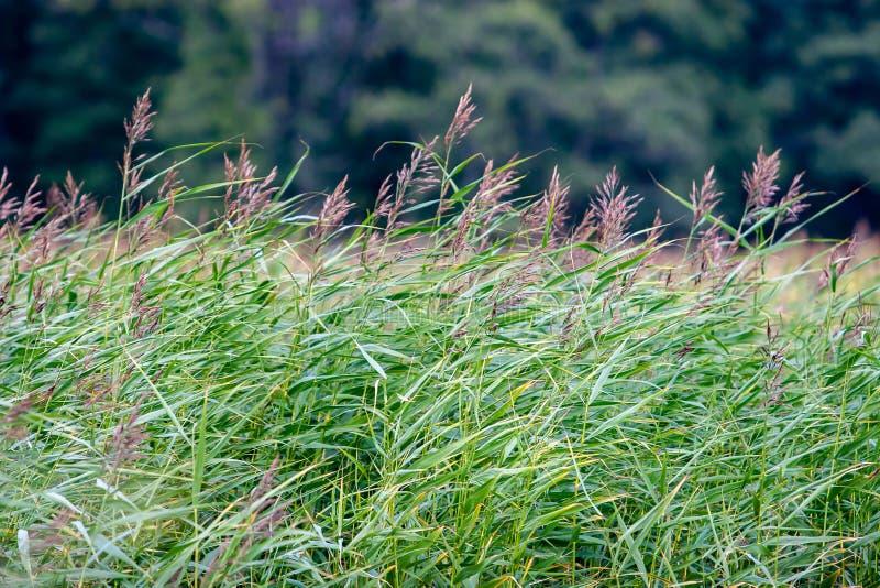 Hohe grüne Schilfe oder Schilfe im Wind gegen einen unscharfen Waldhintergrund lizenzfreies stockbild