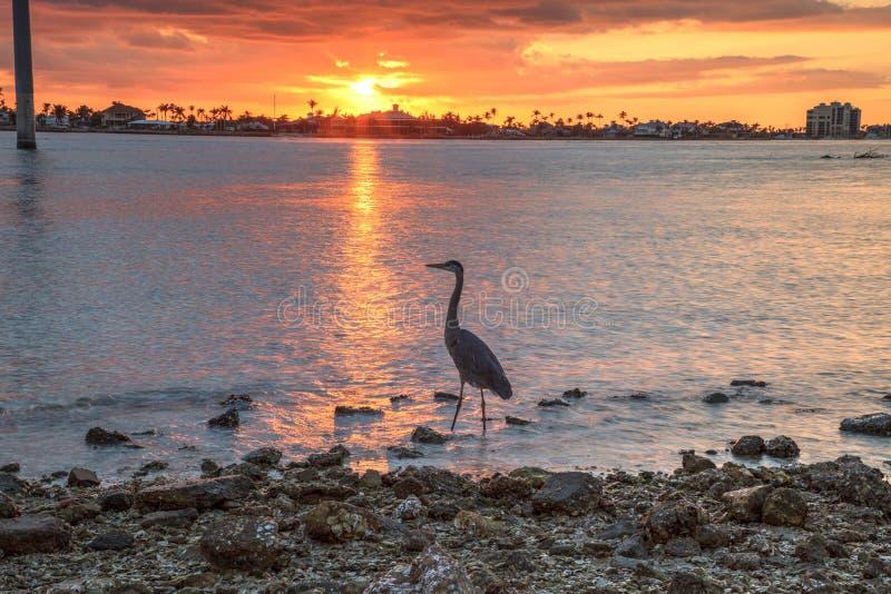Hohe Graureiher Ardea herodias steht vor einem Sonnenuntergang stockfotos