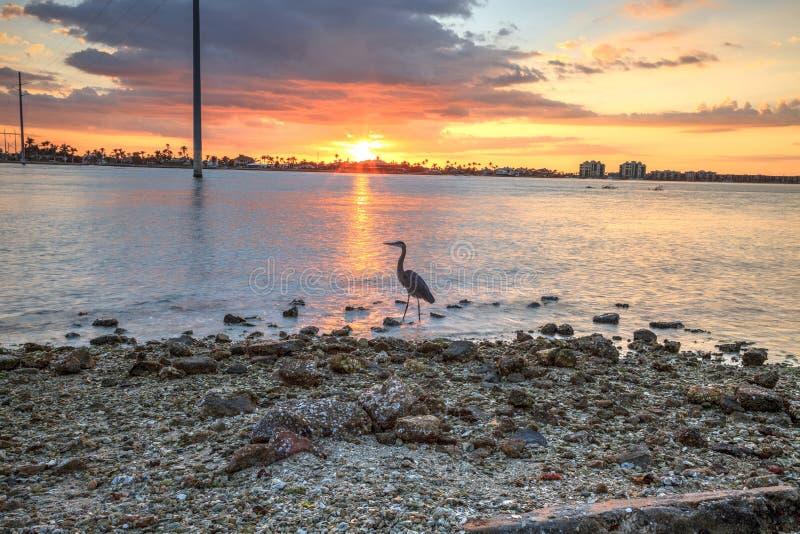 Hohe Graureiher Ardea herodias steht vor einem Sonnenuntergang stockbild