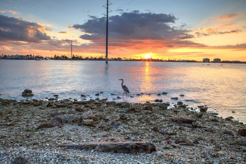 Hohe Graureiher Ardea herodias steht vor einem Sonnenuntergang lizenzfreie stockfotos