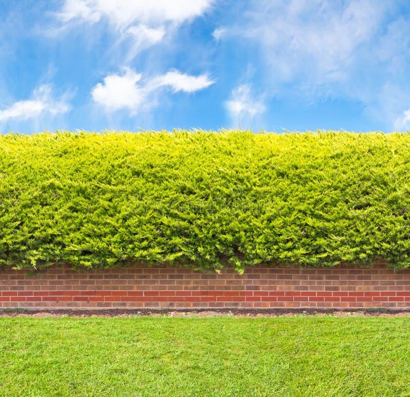 Hohe Hecke mit Teil der Backsteinmauer stockbild