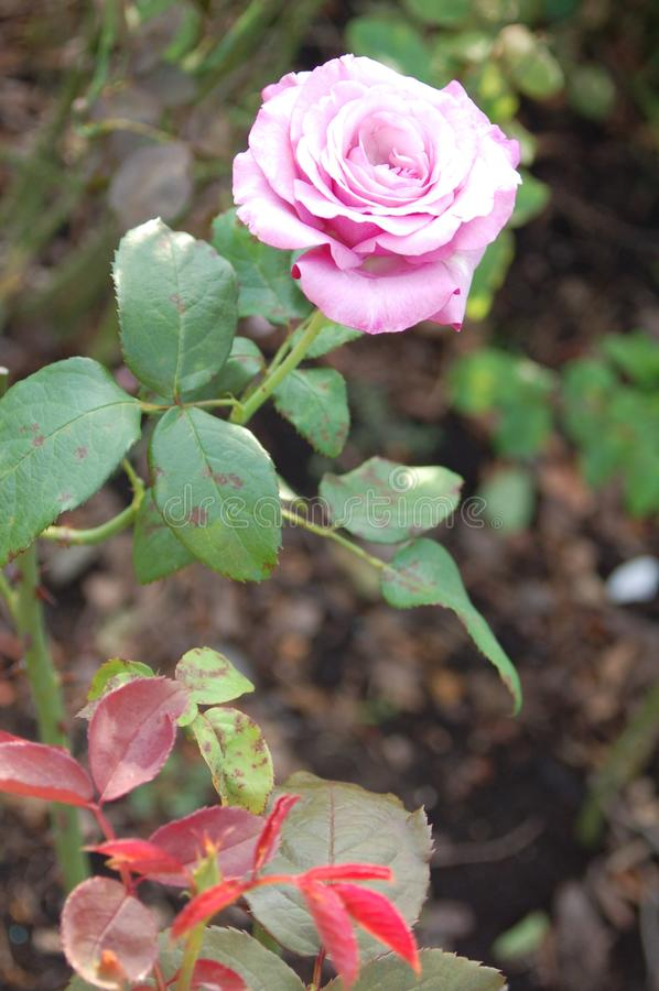 Hohe hellrosa Rose auf einer Rebe stockbild