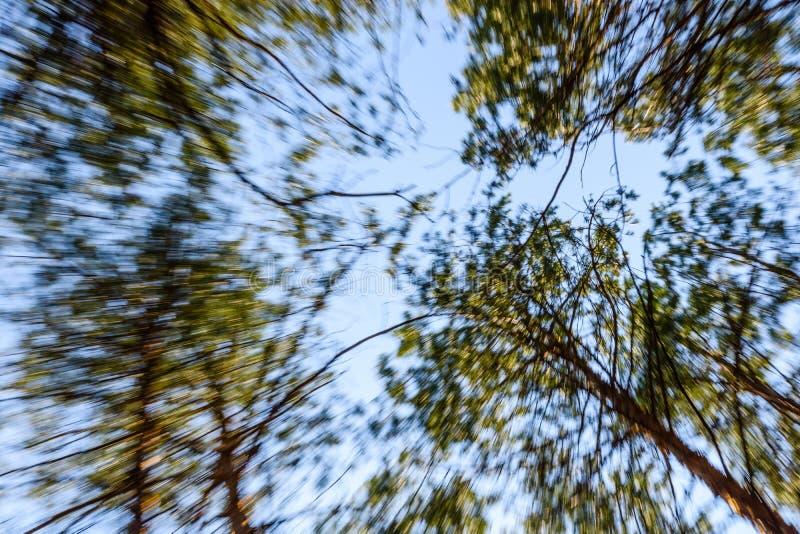 Hohe Kiefer in einem Wald auf Fr?hling Konzept und unscharfe Bewegung oben schauen stockbild