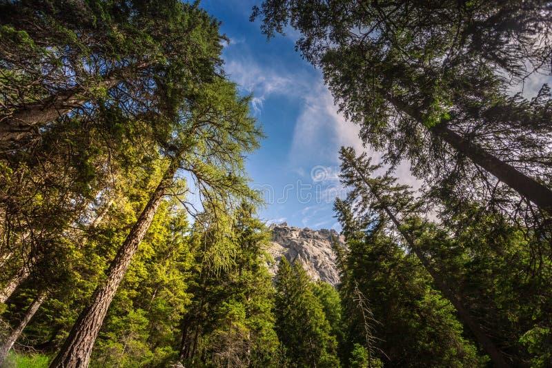 Hohe Kiefern in den Alpen nahe San Martino di Castrozza stockbilder