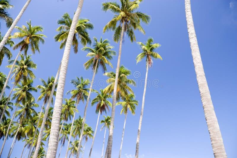 Hohe Kokosnuss-Palmen stockfotos
