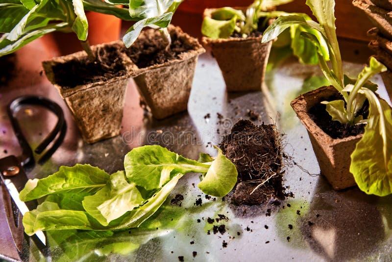 Hohe oder Verpflanzungsfrühlingssämlinge des Potting stockbild