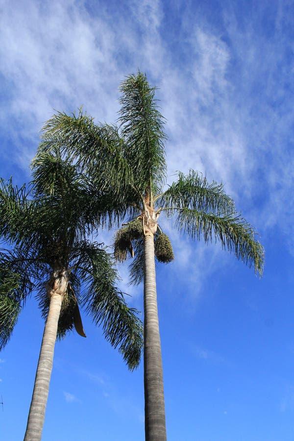 Hohe Palme auf blauem Himmel stockfoto