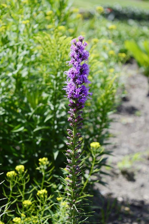Hohe purpurrote Blume - Liatris spicata lizenzfreies stockbild
