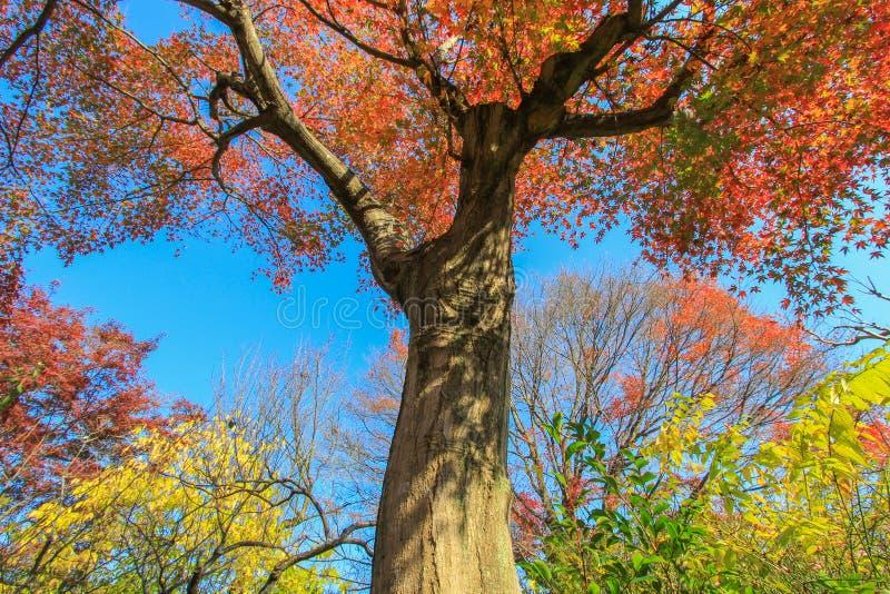 Hohe rote Bäume mit Hintergrund des blauen Himmels lizenzfreie stockbilder