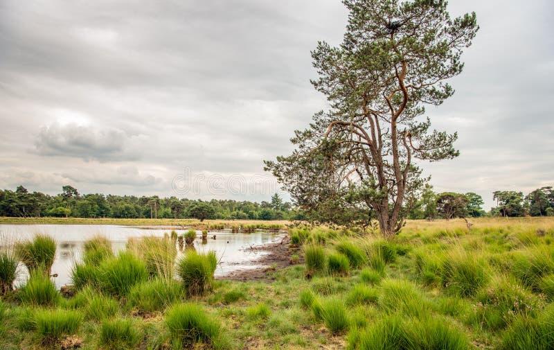 Hohe schottische Kiefer gegen einen bewölkten Himmel in einer niederländischen Natur rese lizenzfreies stockbild