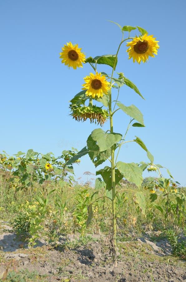 Hohe Sonnenblume des Lebens in der wilden Nahaufnahme mit gelben Blumen lizenzfreie stockfotografie