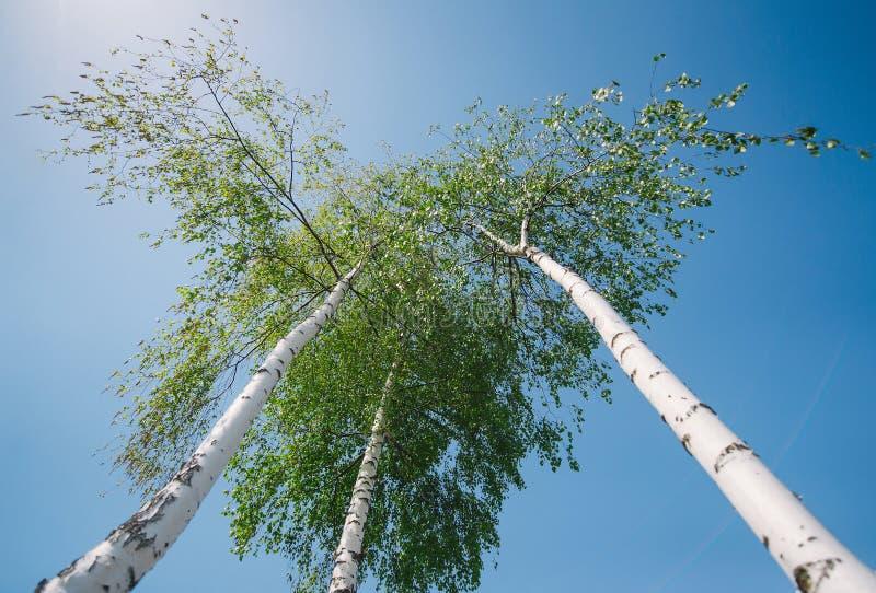 Hohe Suppengr?n im Wald unter blauem Himmel, untere Perspektivenansicht lizenzfreie stockfotografie