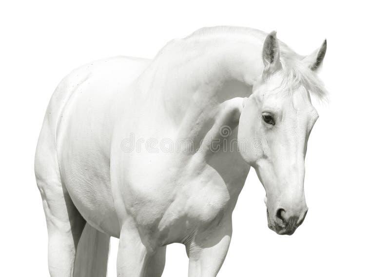 Hohe Taste des weißen Pferds stockfoto