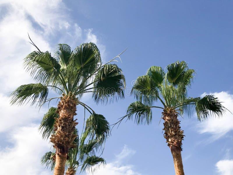 Hohe tropische südliche Wüstenpalmen mit großen Grünblättern und starke starke Stämme vor dem hintergrund des blauen Himmels mit  stockfotografie