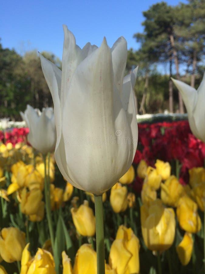 Hohe weiße Tulpe stockbild