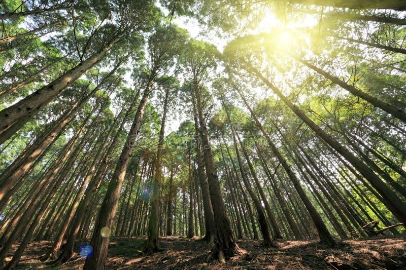 Hohe Zederbäume in lushan lizenzfreie stockfotografie