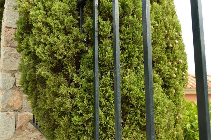 Hohe Zypresse wächst hinter einem Metallzaun und einer Steinwand, schöne Ansicht stockfoto