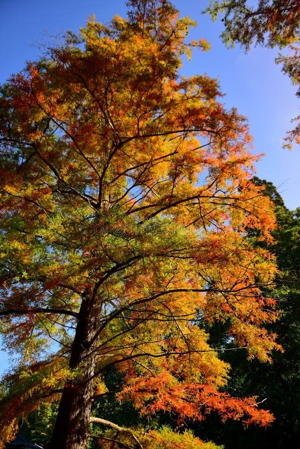 Hoher Baum mit Orange und Gelb verlässt im Herbst, in botanischen Gärten Christchurchs stockfotografie