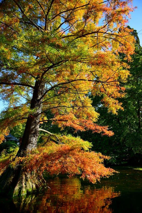 Hoher Baum mit Orange und Gelb verlässt im Herbst, in botanischen Gärten Christchurchs lizenzfreies stockbild