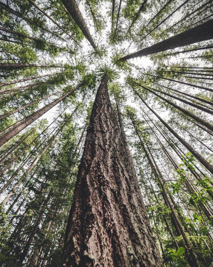 Hoher Baum-Stamm, der steigt, vom Wald zu übersteigen stockfotos