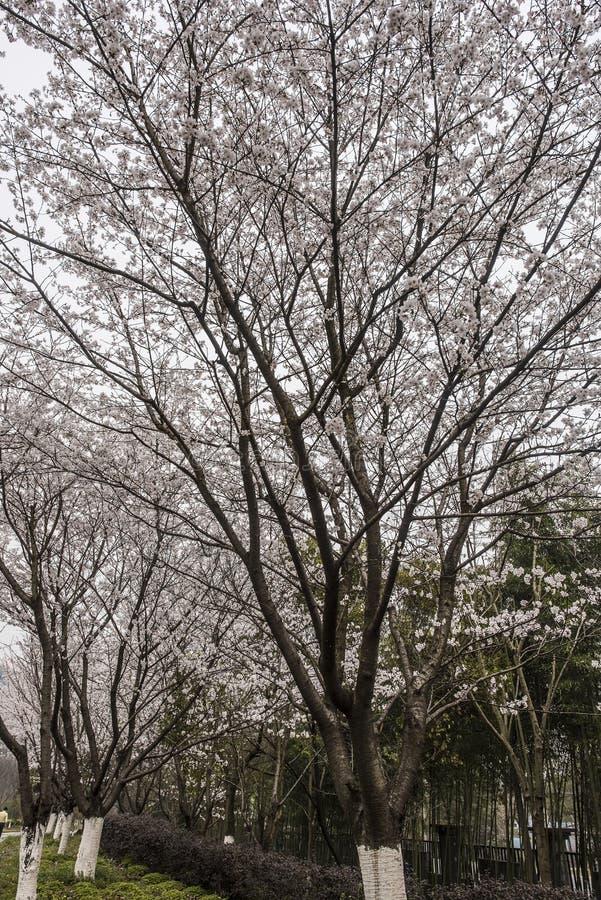Hoher Kirschblütenbaum mit blühenden weißen Blumen lizenzfreies stockfoto
