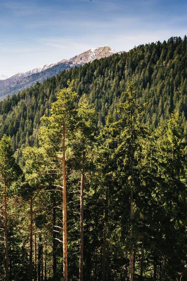 Hoher Koniferenwald des alpinen Tales im Frühjahr stockfoto