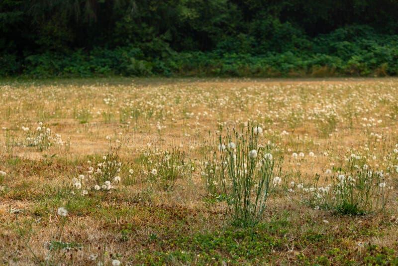 hoher Löwenzahn in der Sonne mit trockenem Gras lizenzfreie stockfotografie