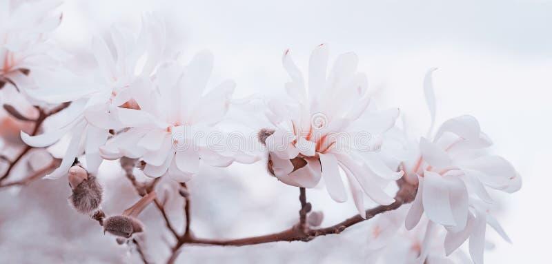 Hoher Schlüssel der weich weißen und rosa Magnolien lizenzfreie stockfotografie