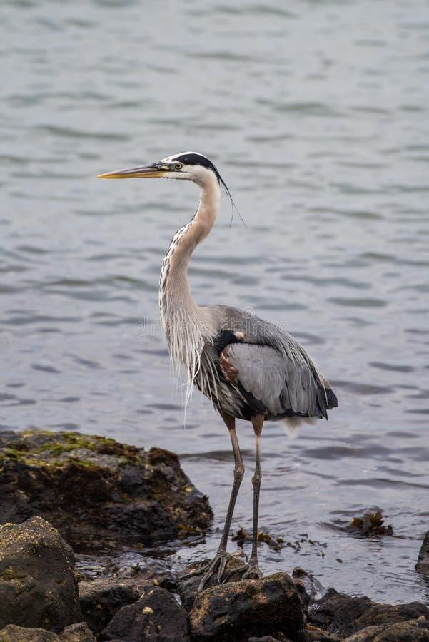 Hoher Seevogel, der eine Pause vom Fischen macht lizenzfreie stockfotografie