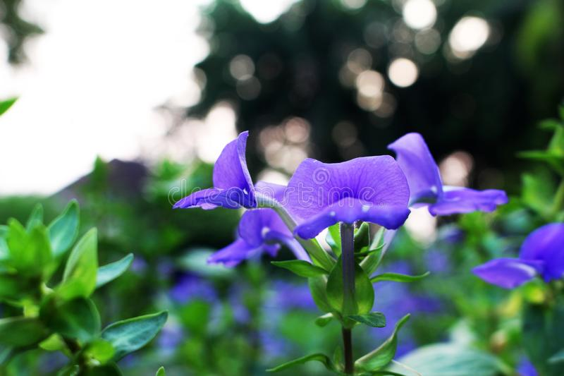 Hoher und selektiver Fokus des Abschlusses mit den violetten oder purpurroten Farben der schönen Blume blühend auf Bokeh-Hintergr stockbilder