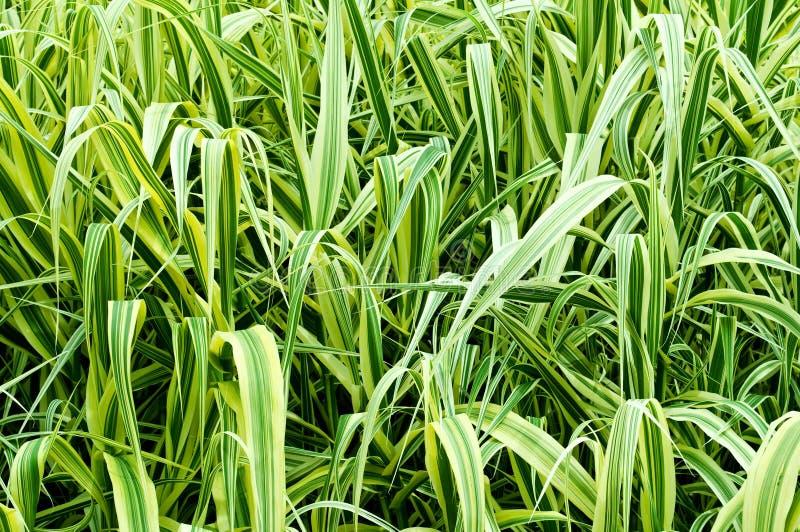 Hohes dekoratives Gras lizenzfreies stockbild