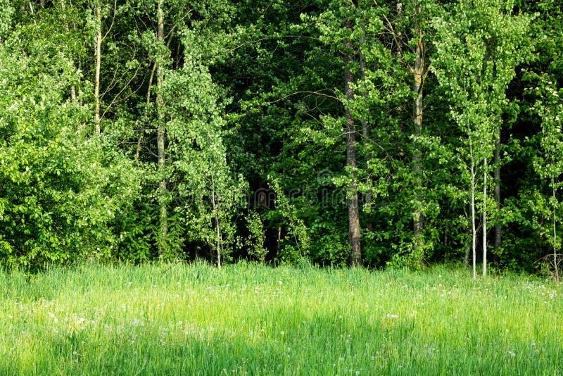 Hohes gr?nes Gras und B?ume im Sommerwald lizenzfreie stockfotos
