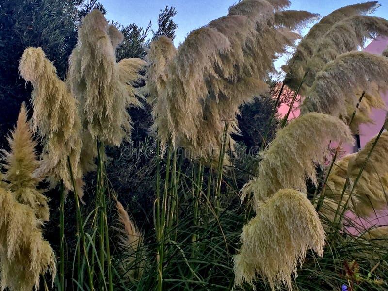 Hohes Gras mit den schönen gelben Niederlassungen, die in den Wind wellenartig bewegen lizenzfreies stockfoto