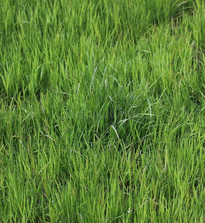 Hohes junges Gras stockbild