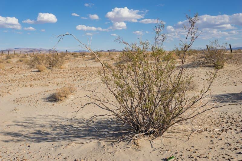 Hohes Kreosot Bush in der Wüste lizenzfreie stockfotos