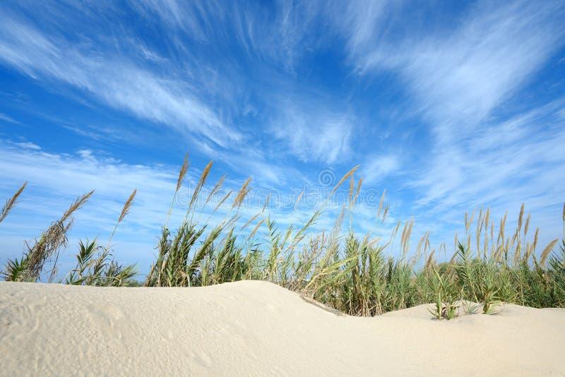 Hohes Reedwachsen auf einem Sand stockbilder