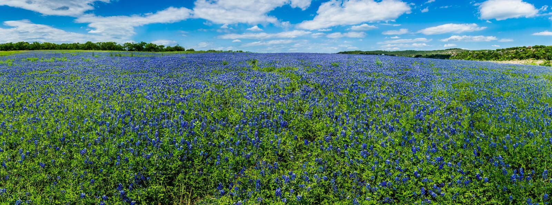 Hohes Res-Panorama von Feldern von Bluebonnets an der Maultier-Schuh-Biegung, Te stockbild