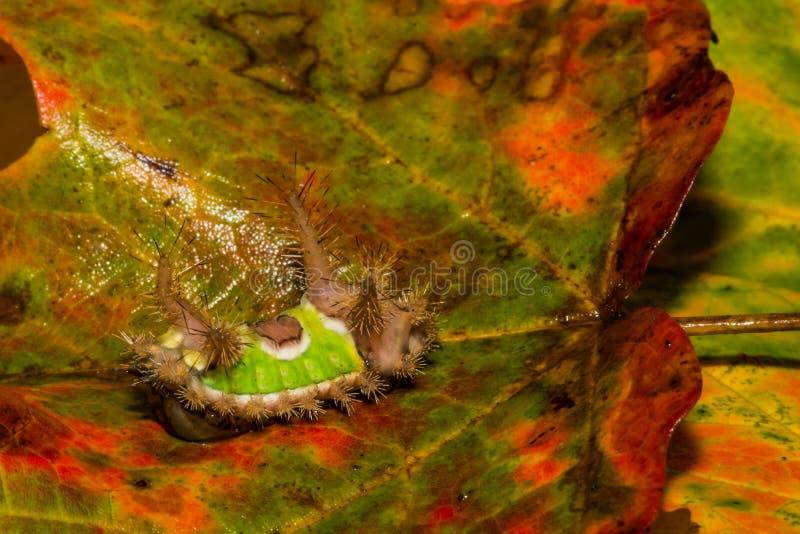 Hohlrückiges Pferd Caterpillar stockfotografie