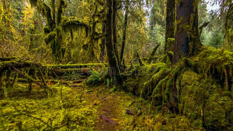 Hohregenwoud in olympisch nationaal park, Washington, de V.S. royalty-vrije stock foto's