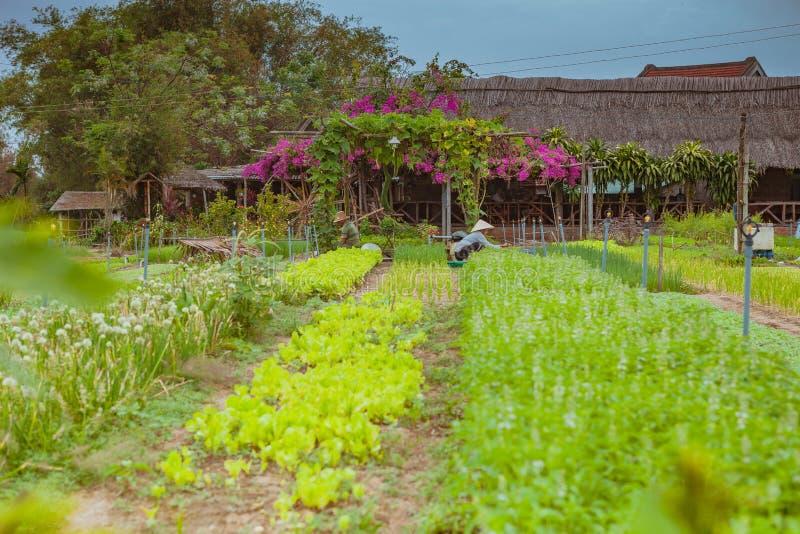 HOI, VIETNAM - 17. MÄRZ 2017: Dorf Tra Que, organisches Gemüsefeld, nahe alter Stadt Hoi Ans, Vietnam stockfoto