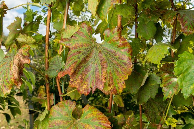 Hoja afectada enferma de la macro del primer de las uvas El concepto de plantaciones de protección de uvas de enfermedades fungic foto de archivo libre de regalías