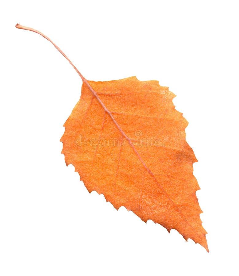 Hoja amarilla del otoño del árbol de abedul aislada imagen de archivo