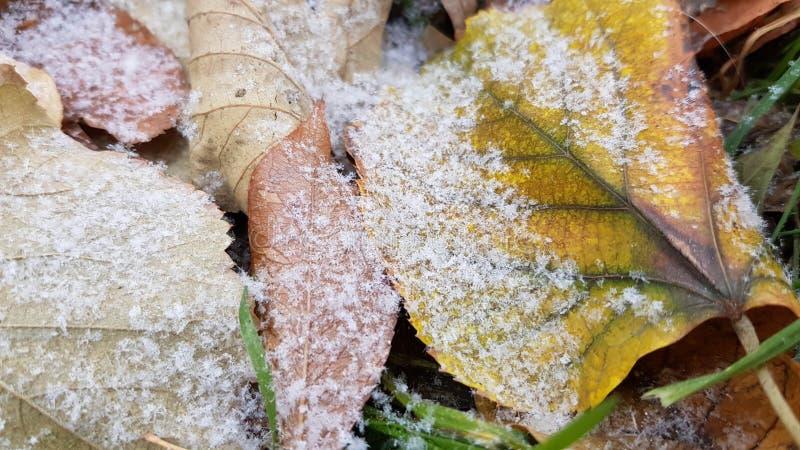 Hoja amarilla grande de la caída con las rayas verdes por la mitad cubierta con la primera nieve imagen de archivo libre de regalías