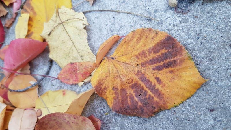Hoja amarilla pintoresca de la caída con las rayas marrones caidas al suelo concreto gris imagen de archivo libre de regalías