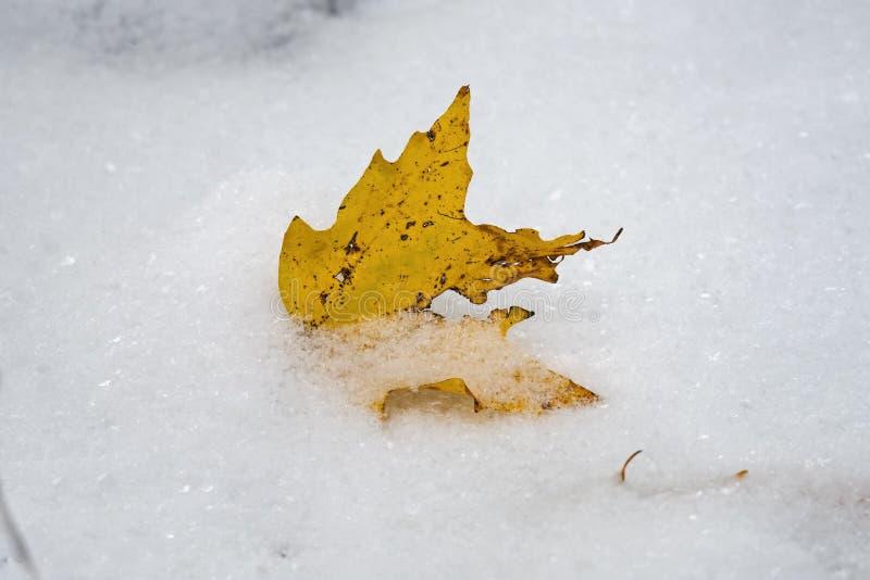 Hoja amarilla recientemente caida del árbol de arce de azúcar en la primera nieve del año imagen de archivo